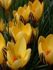 Минзухар жълт (crocus golden yellow)