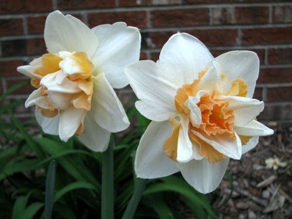 Нарцис (Narcissus Delnashaugh)