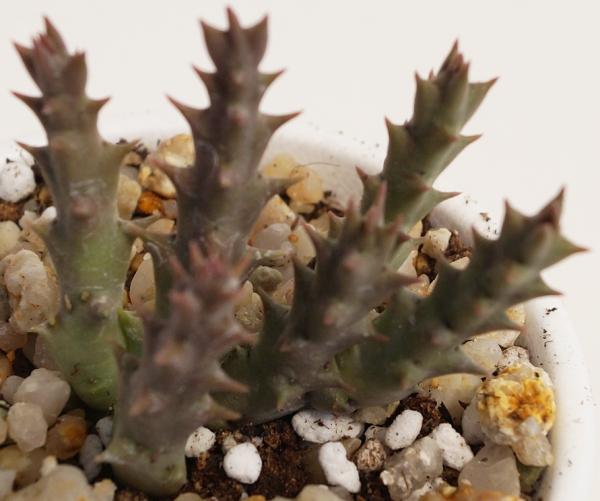 Стапелия  виды уход размножение  GreenHome