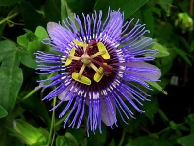 Пасифлора алата (Passiflora  Purple Haze)