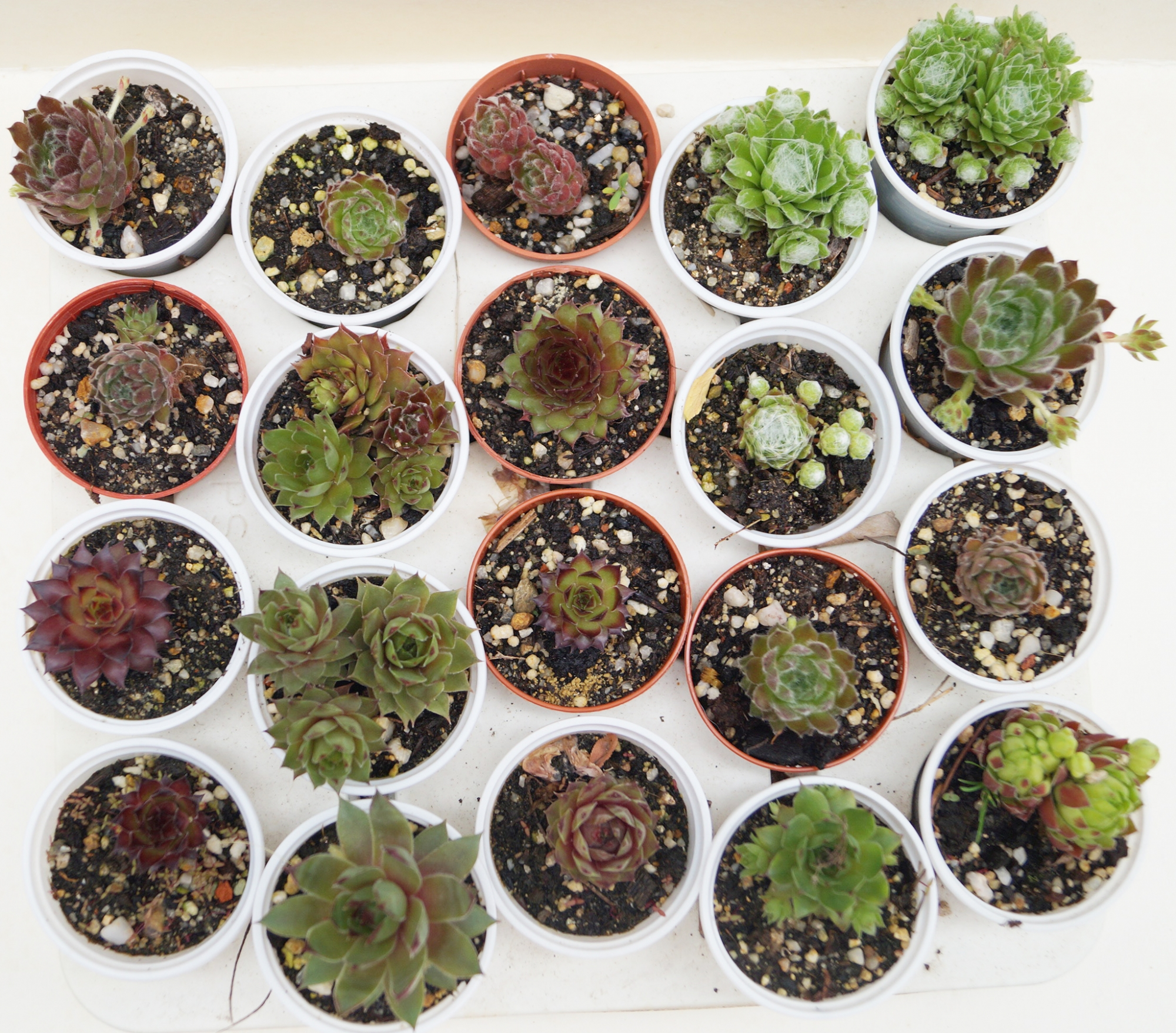 Семпервивум микс (Sempervivum mix)
