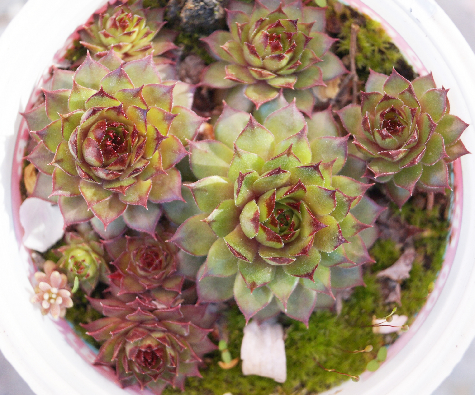 Семпервивум (Sempervivum)