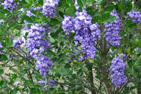 Софора Мескалов боб, семена (Sophora secundiflora, Mescalbean sophora Texas Mountain Laurel or Mescal Bean)