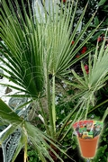Палма Вашингтония, семена (Washingtonia filifera Californian Cotton Palm)