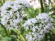 Дилянка, валериана, котешка трева, коча билка, навалник (Valeriana officinalis)