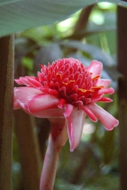 Етлингера, микс, розова, червена семена (Etlingera elatior Mixed, Pink, Red, Torch Ginger)