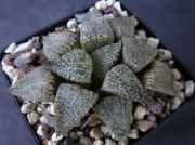 Хавортия (Haworthia picta GM 568)