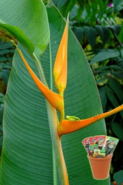 Хеликония, семена (Heliconia latispatha Yellow Gyro)