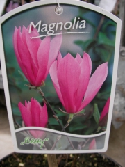 Магнолия (Magnolia Betty)