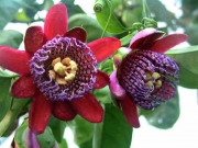Пасифлора, Маракуя, семена (Passiflora quadrangularis)
