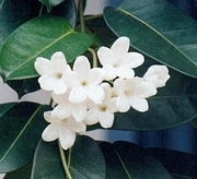 Стефанотис, жасмин, Мадагаскарски (Stephanotis)