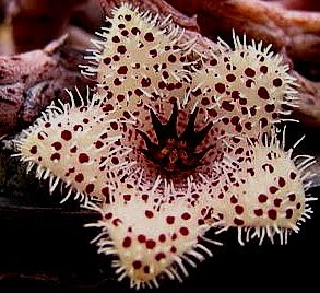 Стапелиантус (Stapelianthus madagascariensis)
