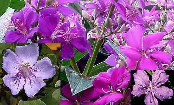 Тибухина микс, семена (Tibouchina Mixed)