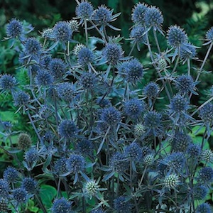 Ерингиум, Ветрогон, Биволски трън, семена (Eryngium Blue Glitter Sea Holly)