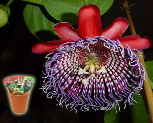 Пасифлора, семена (Passiflora quadrangularis Purple Granadilla)