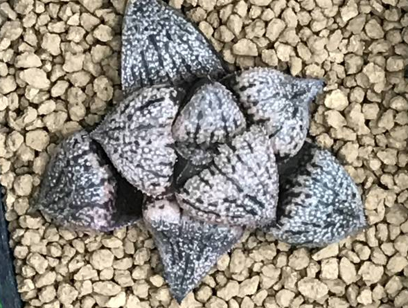 Хавортия (Haworthia emelyae picta seedling)