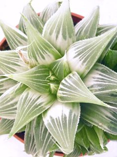 Хавортия (Haworthia retusa White Ghost variegata variegated)