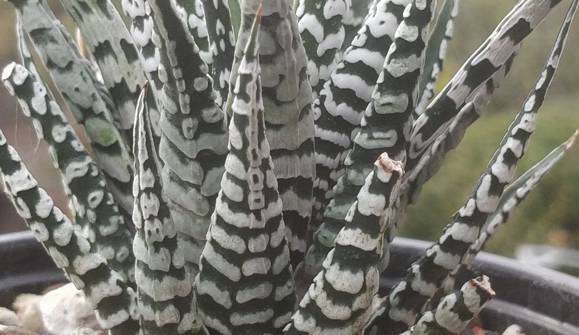 Хавортия (Haworthia White Zebra Haworthia Big Band Haworthia attenuata)