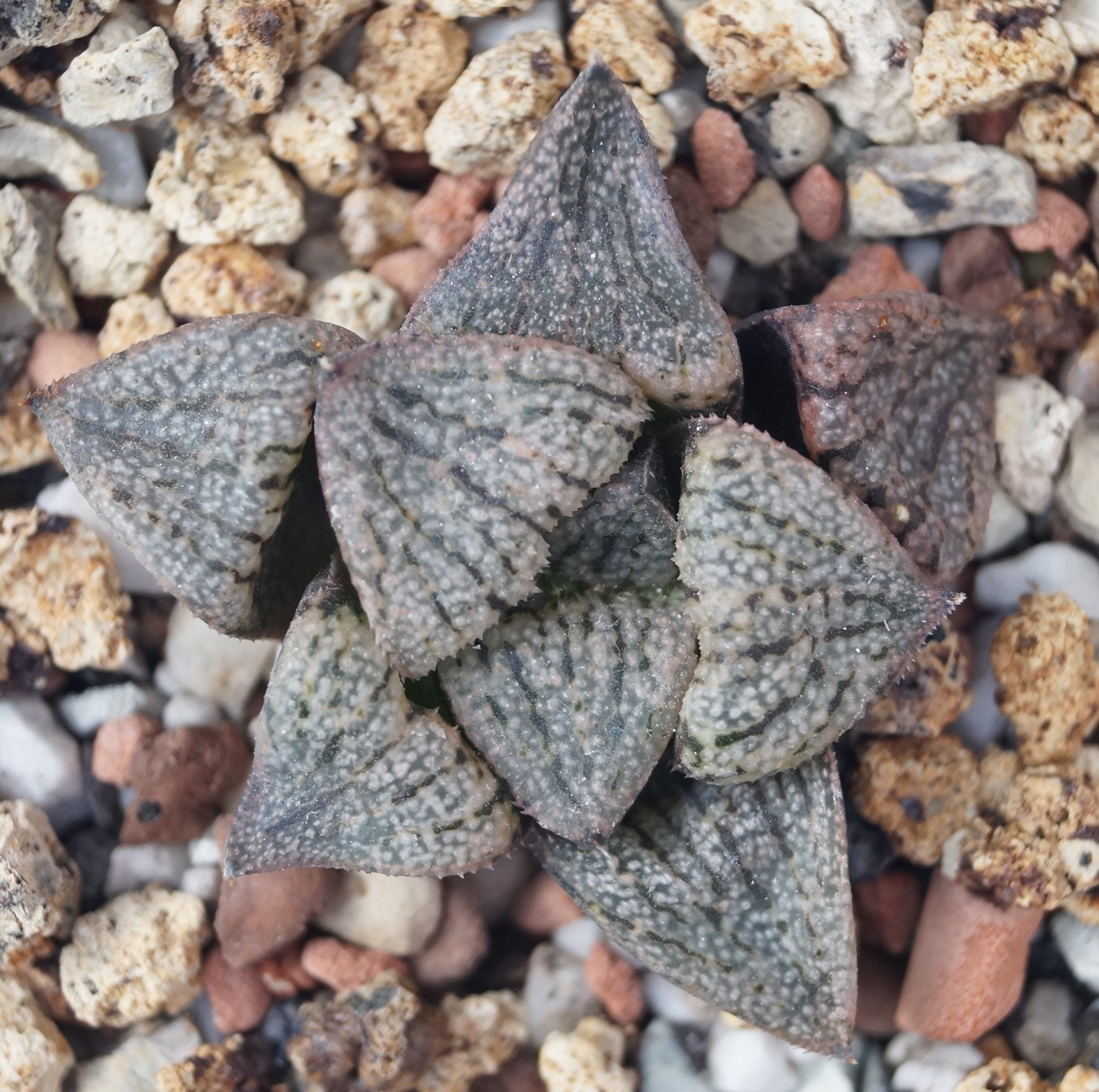 Хавортия пикта VDV056 (Haworthia picta VDV056, SE of Zebra)