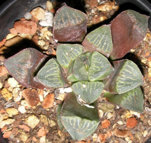 Хавортия ретуза (Haworthia retusa)