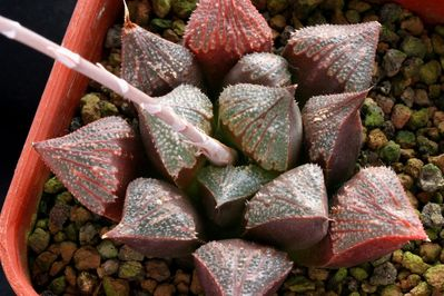 Хавортия Шоколад (Haworthia Chocolate)